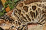 Леопардики, черная пантера, кот2г, кошка4г